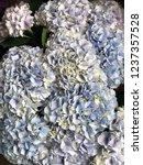 blue hydrangea flowers for... | Shutterstock . vector #1237357528