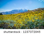 Yellow Brittlebush blooms in Palm Spring, California - stock photo