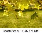 background of autumn maple... | Shutterstock . vector #1237471135