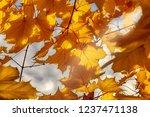 background of autumn maple... | Shutterstock . vector #1237471138
