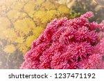 autumn chrysanthemums. belarus. | Shutterstock . vector #1237471192