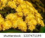 autumn chrysanthemums. belarus. | Shutterstock . vector #1237471195