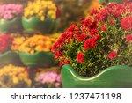 autumn chrysanthemums. belarus. | Shutterstock . vector #1237471198