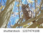 magellanic horned owl perched... | Shutterstock . vector #1237474108
