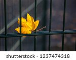 yellow maple leaf entangled in... | Shutterstock . vector #1237474318