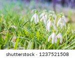 nowdrop spring flowers....   Shutterstock . vector #1237521508