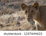 lion cub portrait in zakouma... | Shutterstock . vector #1237644622