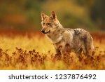 Close Up Gray Wolf  Canis Lupu...