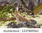 Stock photo tundra hare also known as mountain hare in natural habitat lepus timidus 1237889062