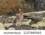Stock photo tundra hare also known as mountain hare in natural habitat lepus timidus 1237889065