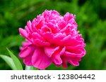 Peony flower. selective focus. - stock photo