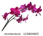 Stock photo dark pink orchid flowers isolated on white background 123804805
