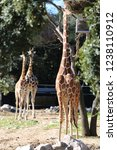 outdoor view of giraffes  also... | Shutterstock . vector #1238110912