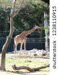 outdoor view of giraffes  also... | Shutterstock . vector #1238110915