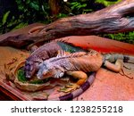 the green  iguana  is a large... | Shutterstock . vector #1238255218