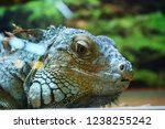 the green  iguana  is a large... | Shutterstock . vector #1238255242