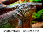 the green  iguana  is a large... | Shutterstock . vector #1238255245