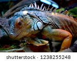 the green  iguana  is a large... | Shutterstock . vector #1238255248