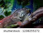 the green  iguana  is a large... | Shutterstock . vector #1238255272