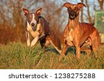 Stock photo two funny whippets are running in the park in the autumn sun 1238275288