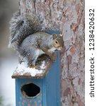 eastern gray squirrel  sciurus... | Shutterstock . vector #1238420632
