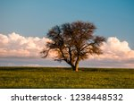 native solitary tree  pampean...   Shutterstock . vector #1238448532