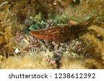 pointed snout wrasse  symphodus ... | Shutterstock . vector #1238612392