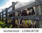 Holstein Cows Grazing On Green...