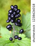 Small photo of Actaea spicata. known as baneberry or herb Christopher. an extremely poisonous plant