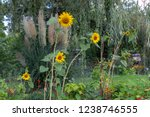 sunflowers in a garden with... | Shutterstock . vector #1238746555