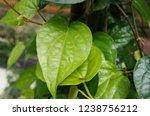 piper betle is a herbal tree... | Shutterstock . vector #1238756212