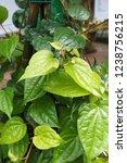 piper betle is a herbal tree... | Shutterstock . vector #1238756215