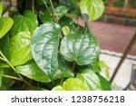 piper betle is a herbal tree... | Shutterstock . vector #1238756218