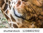 close up giraffe  giraffa... | Shutterstock . vector #1238802502