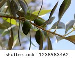 ripening green olives on the... | Shutterstock . vector #1238983462