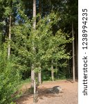 Field Maple Tree  Acer...