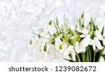snowdrops spring background....   Shutterstock . vector #1239082672