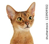 purebred abyssinian young  cat... | Shutterstock . vector #123909502