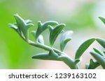 dolphin succulents plant ... | Shutterstock . vector #1239163102