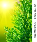 Small photo of American Arborvitae (cypress tree), macro