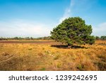 solitary pine tree in the dutch ... | Shutterstock . vector #1239242695
