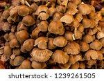 Stock photo mushrooms from a spanish forest selva de irati autumn season 1239261505