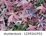 maple leaf autumn | Shutterstock . vector #1239261952