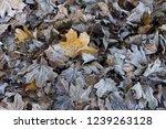 autumn first frost. fallen... | Shutterstock . vector #1239263128