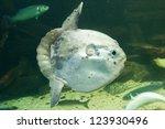 Ocean Sunfish  Mola Mola  In...