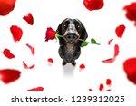 Dachshund  Sausage Dog  In Love ...