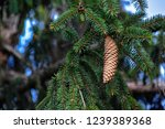 spruce cone on branch closeup | Shutterstock . vector #1239389368