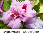 closeup of hibiscus tree... | Shutterstock . vector #1239490285
