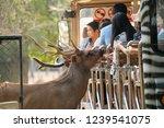 chiang mai  thailand   november ...   Shutterstock . vector #1239541075