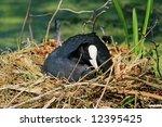 Wild Eurasian Coot  Sitting On...
